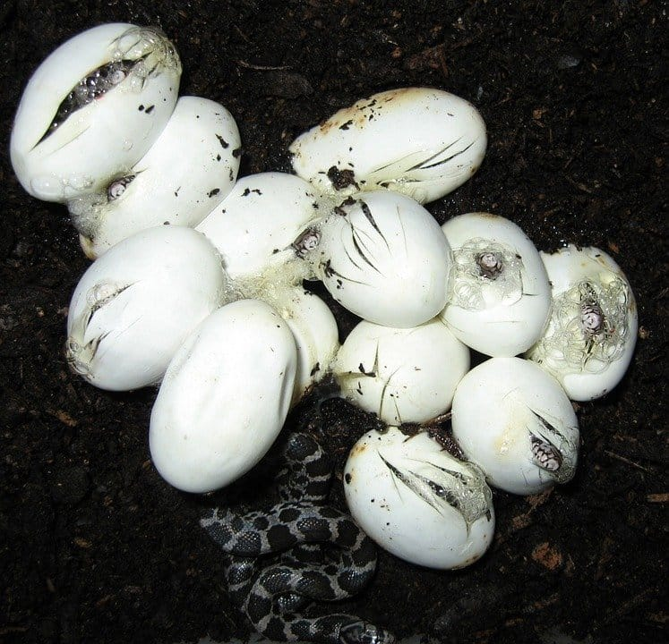 Can you eat snake eggs?