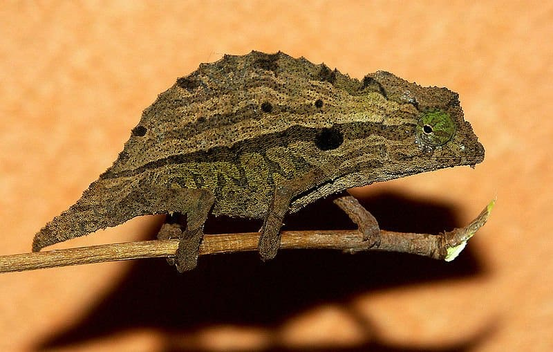Bearded Leaf Chameleon