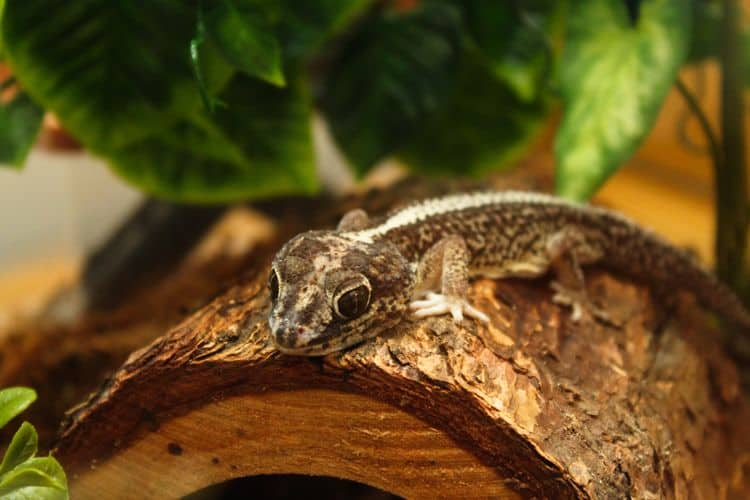 Madagascar Ground Gecko