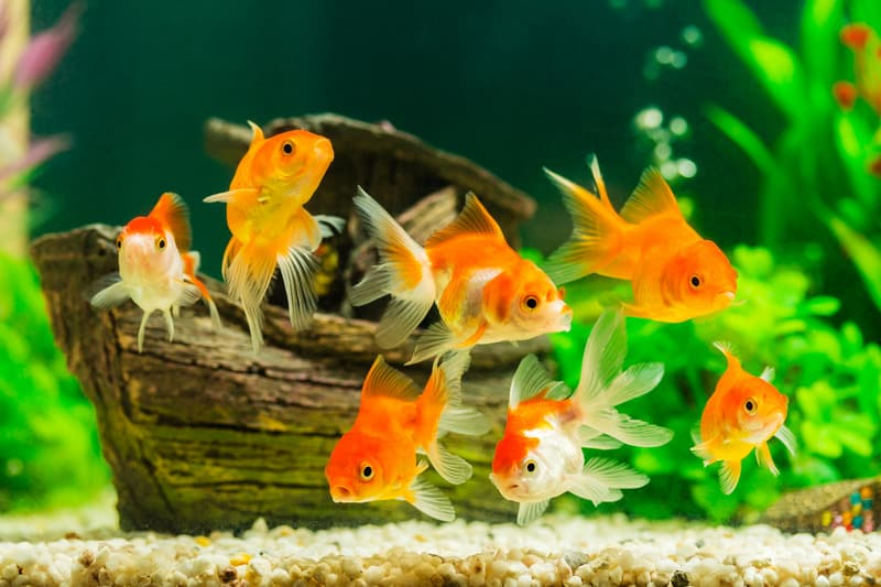 Do Goldfish Need an Air Pump