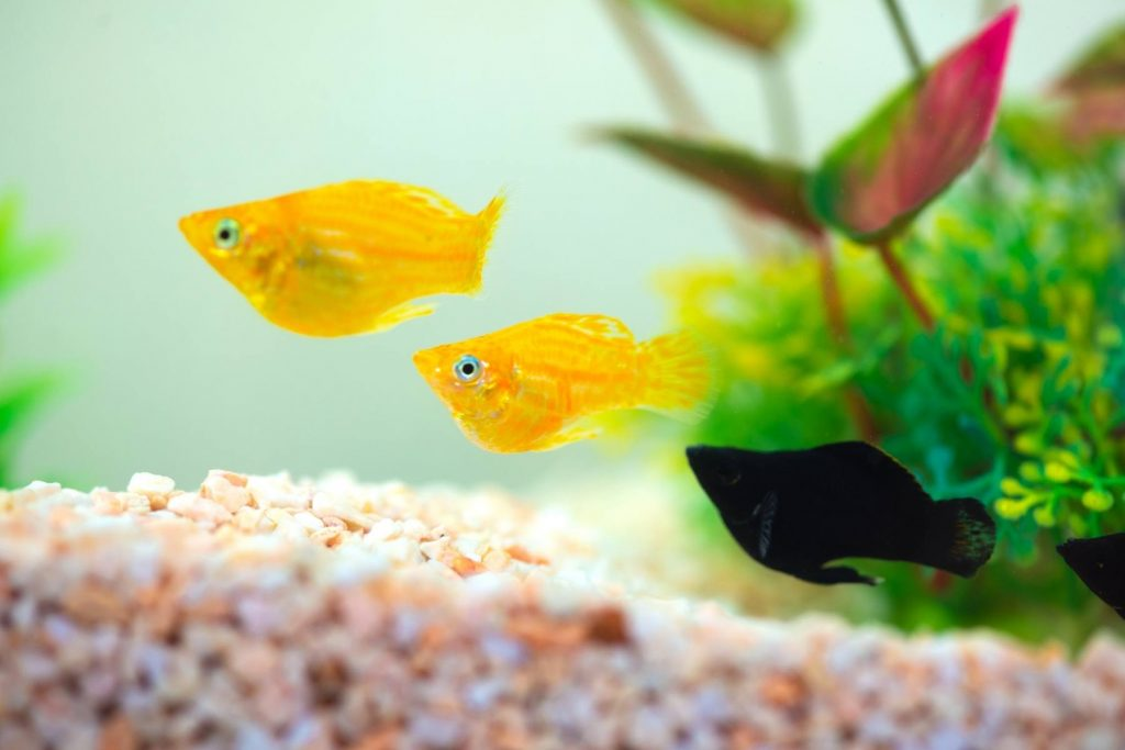 How Can You Tell If A Molly Fish Is Pregnant