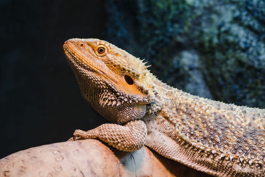 Are Bearded Dragons Poisonous To Dogs