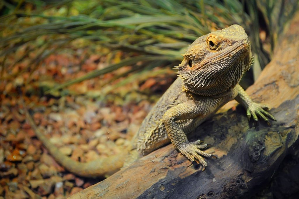 Are Heat Rocks Good For Bearded Dragons