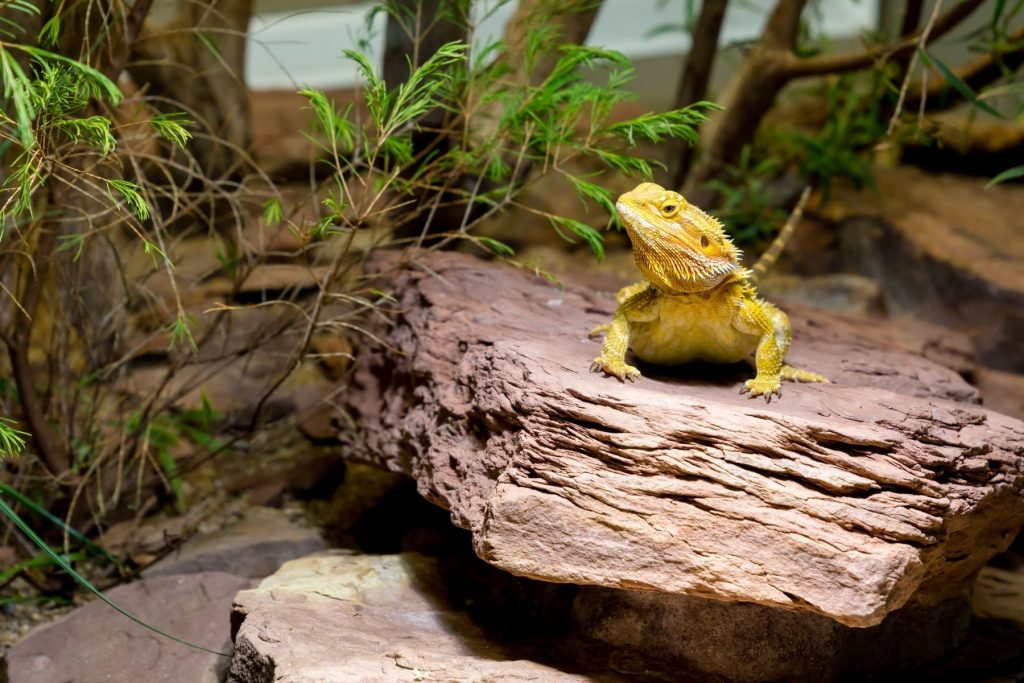 Are Heat Rocks Safe For Bearded Dragons