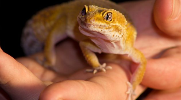 How To Handle A Leopard Gecko