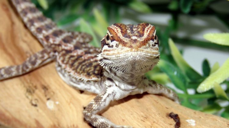 How long does a baby bearded dragon sleep