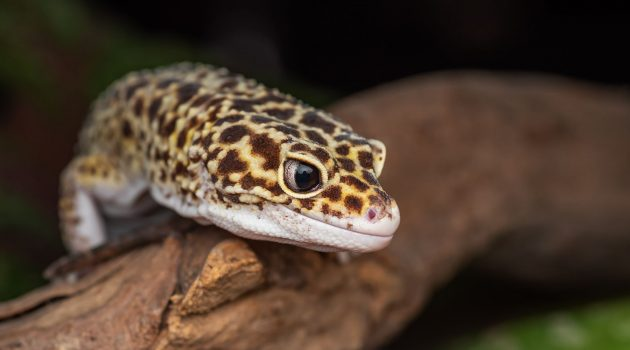 Where Are Leopard Geckos Native To