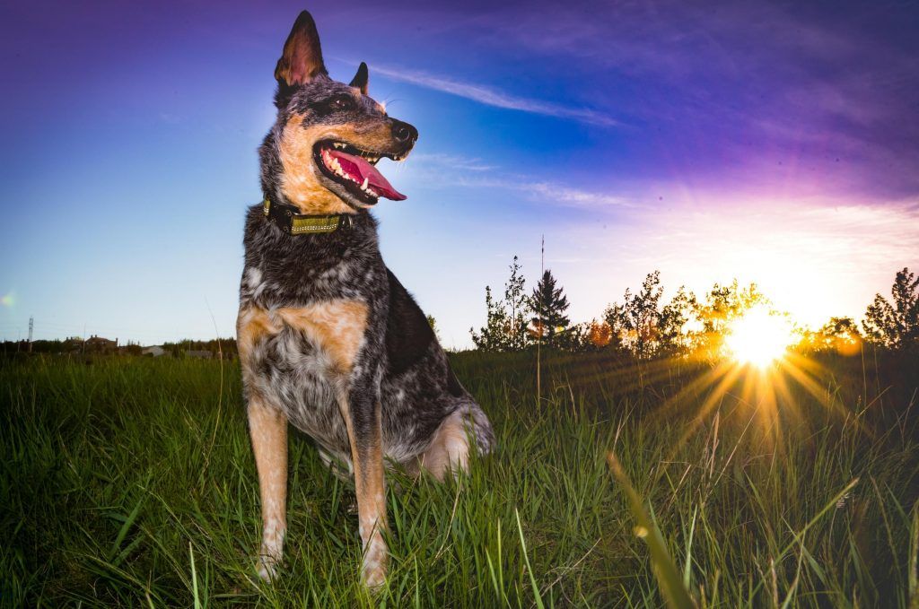 What Is The Best Dog Food For Blue Heelers