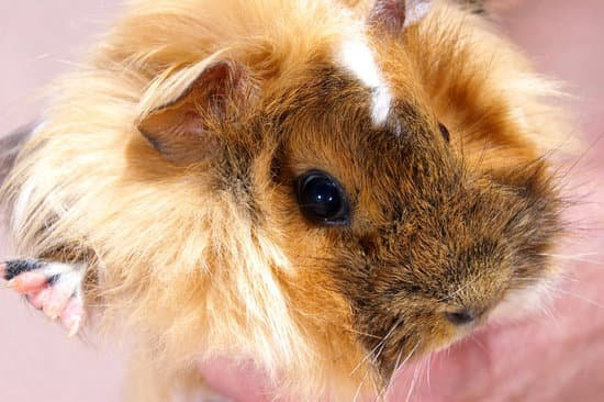 How To Get Rid Of Guinea Pig Mites? - Neeness