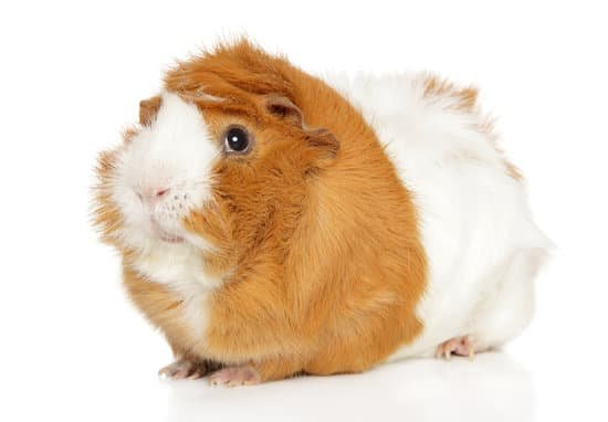 How Big Should A Guinea Pig Cage Be, Can U Use Towels As Guinea Pig Bedding