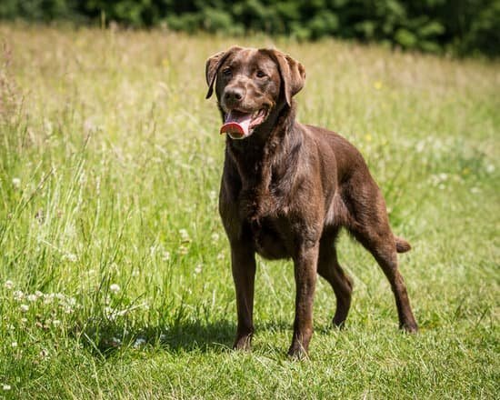 Where To Buy Labrador Puppies In Philippines Neeness